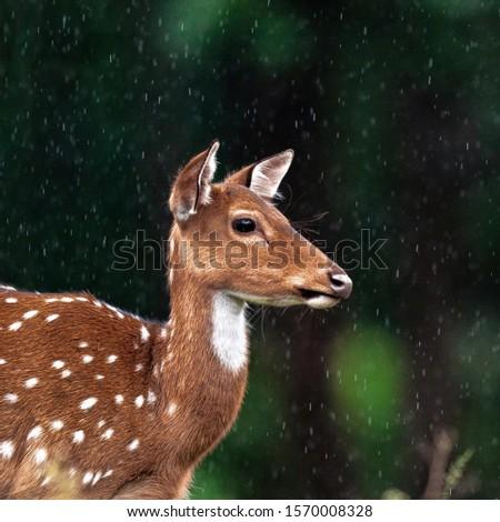 Deer are Herbivore and Ruminant Mammals.  #1570008328