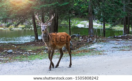 Deer at maturity age in the period of crossing with the female. Red deer on alert look for hunters. Hunting period of the cervus in Canadian or american forests. Portrait of buck in the wild landscape
