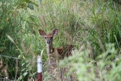 deer captured in their natural habitat