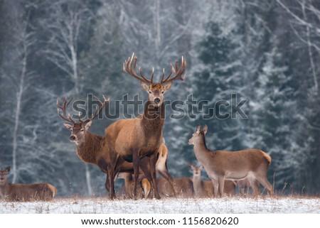Deer ( Cervus Elaphus ) In The Natural Habitat, Winter Time, Vitebsk Region, Belarus. Adult  Deer  Stag With Big Horns In Beautiful Pose On The Edge Of The Winter Forest. Great Deer Buck ( Cervidae )