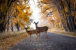 Deer Crossing The Road In Autumn/Fall Color