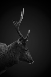 Deer cry in sad mood on black and white
