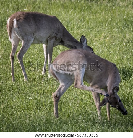 Deer Doe with an Itch #689350336
