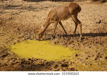 deer drinking almost dried up water from the well  #315900263