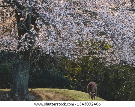 Deer eating grass under full bloom cherry blossom tree, sika deer grazing under sakura tree, nature beauty concept