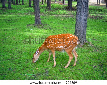 deer eats herb