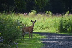 Deer enjoying a National Recreation Area. Delaware River Gap National Recreation Area.