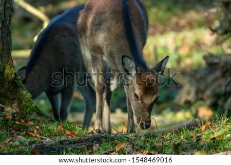 Deer, fallow deer, sika deer, wildlife in northern Germany #1548469016