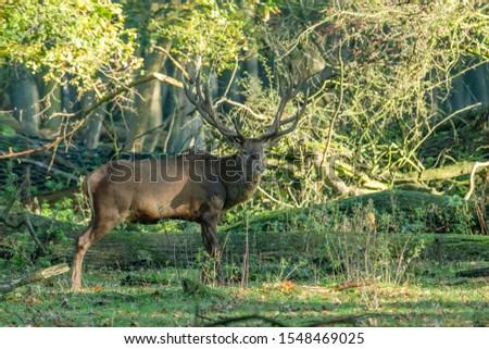 Deer, fallow deer, sika deer, wildlife in northern Germany #1548469025