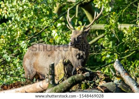 Deer, fallow deer, sika deer, wildlife in northern Germany #1548469028