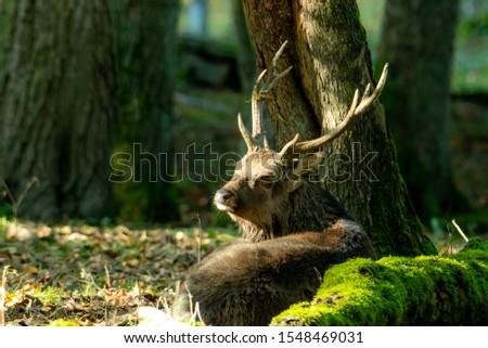Deer, fallow deer, sika deer, wildlife in northern Germany #1548469031