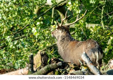 Deer, fallow deer, sika deer, wildlife in northern Germany #1548469034