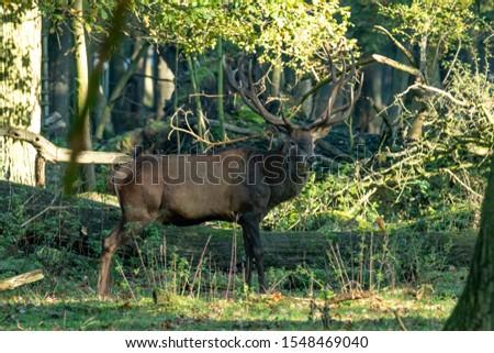 Deer, fallow deer, sika deer, wildlife in northern Germany #1548469040
