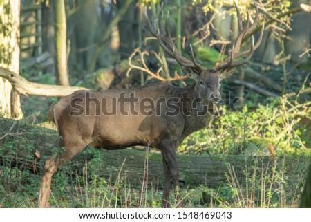Deer, fallow deer, sika deer, wildlife in northern Germany #1548469043