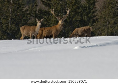 Deer Family in snow and forest background
