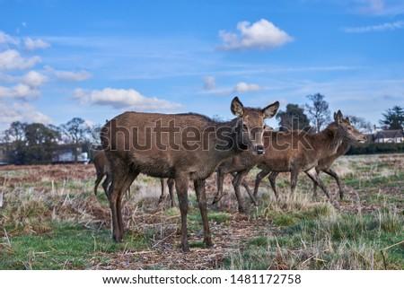 Deer fawn in deer herd. Young deer nature portrait #1481172758