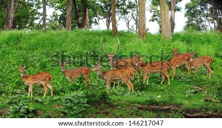 Deer flock in natural habitat #146217047