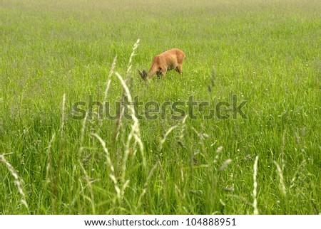 Deer garzing outdoors on big grass field a summer day