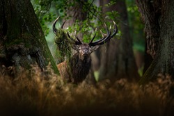 Deer, grass in the antlers. Red deer stag, majestic powerful adult animal outside autumn forest. Big animal in the nature forest habitat, Denmark. Wildlife scene form nature.