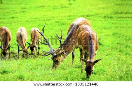 Deer herd grazing on meadow. Deer herd meadow grazing. Deer herd on deer farm #1335121448