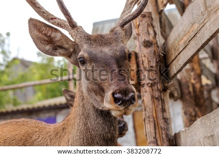 Deer hunting in the paddock on a farm being treated. Family of deer in the spacious aviary zoo #383208772