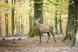 deer in autumn forest