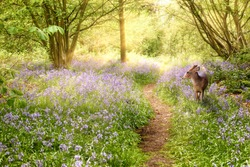 Deer in bluebell forest in spring time, with a path leading into the distance, and morning sunrise. Wild purple flowers in natural woodland