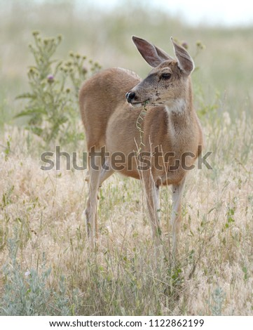 Deer in field with thistle at Rocky Mountain Arsenal #1122862199