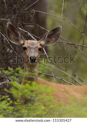 Deer in Forest Environment; mule black-tailed deer doe in woods in spring time, in a National Forest; deer hunting season