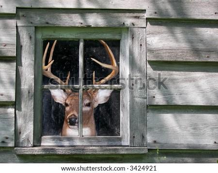 Deer in old shed window