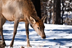Deer in snow in the Grand Canyon