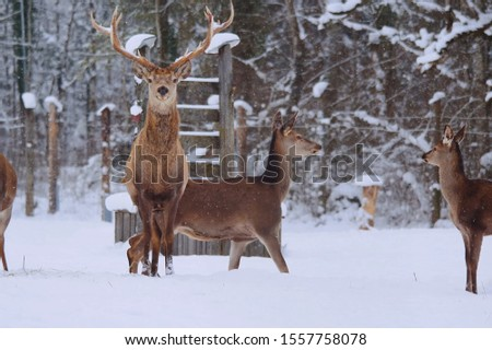 Deer in the alps. Snow. Deer in the snow. Deer. Deer family. #1557758078