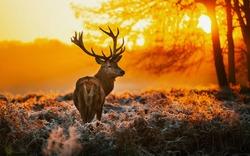Deer in the dawn light