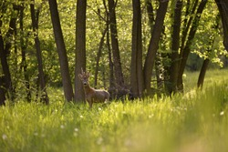 deer in the forest looking at the camera in spring season. capreolus capreolus a wild animal living in freedom
