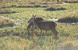 Deer in the Park of Salburua, Alava, Spain