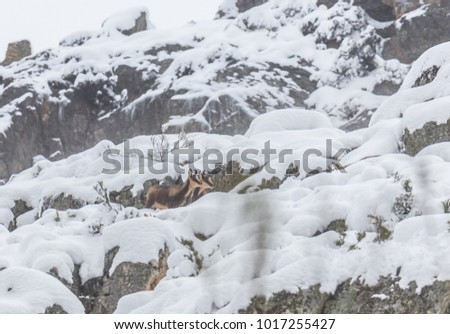 deer in the snow in the mountains of Asturias, after the intense snowfall of these days ... #1017255427
