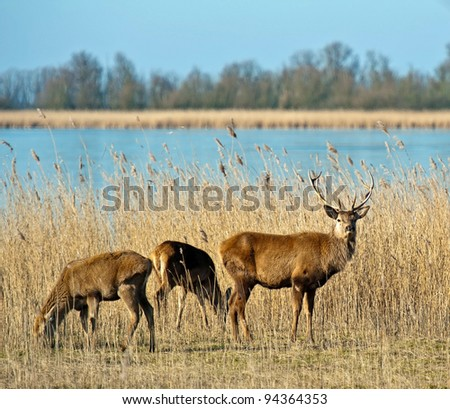 Deer in winter near a frozen lake