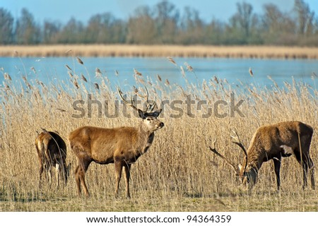 Deer in winter near a frozen lake - stock photo