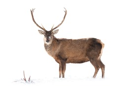 Deer is isolated on a white background standing on white snow.