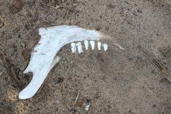 Deer jaw bone weathered with age. Animal bones in sand. Herbivore teeth and jaw bone decomposing.