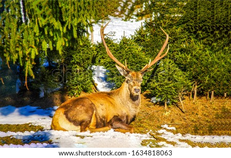 Deer lying on snowy ground. Noble deer in forest. Deer lying