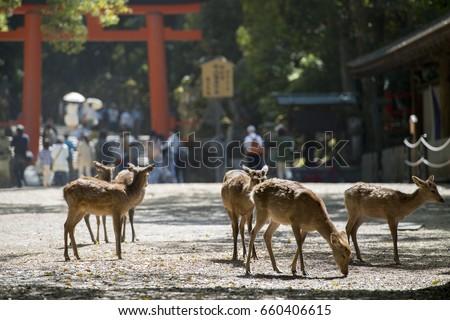 Deer (Nara park in Japan)