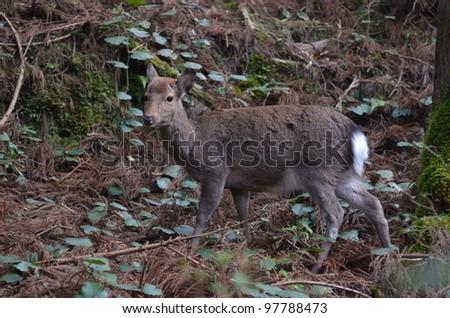 Deer of Yakushima Japan