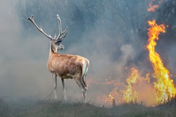 Deer on a background of burning forest. Wild animal in the midst of fire and smoke