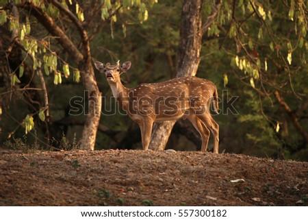 Deer on a hill #557300182