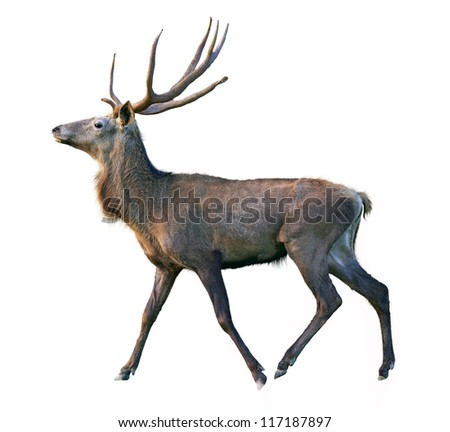 Deer on a white background with detail traced hair