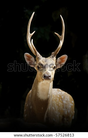 deer on black background