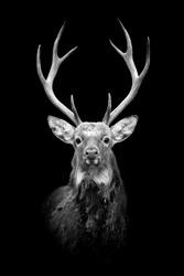Deer on dark background. Black and white image