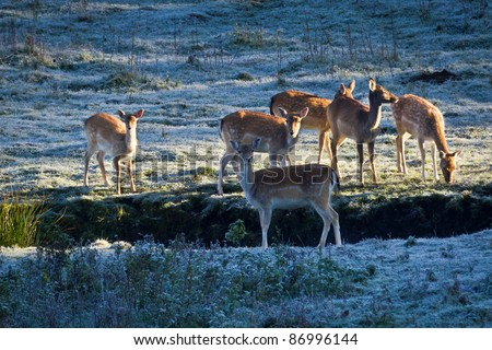 Deer on frozen meadow at sunrise