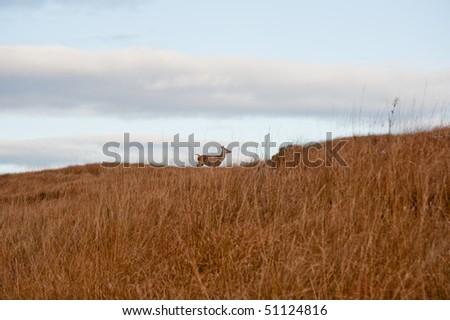 Deer on Jura hillside